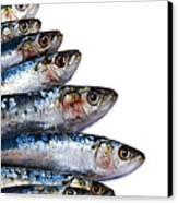 Sardines Canvas Print