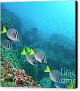 School Of Razor Surgeonfish On Rocky Seabed Canvas Print by Sami Sarkis