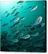 School Of Yellow Masked Surgeonfish Canvas Print