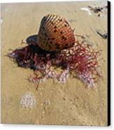 Sea Shell Seaweed An Sand 1 Canvas Print