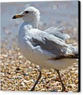 Seagull Canvas Print by Betsy Knapp