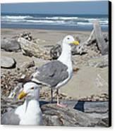 Seagull Bird Art Prints Coastal Beach Bandon Canvas Print