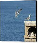 Seagulls Landing On Wall Overlooking Sea Canvas Print by Sami Sarkis