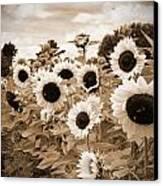 Sepia Sunflower Field Canvas Print