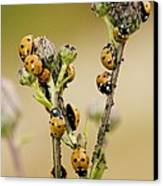 Seven-spot Ladybirds Eating Aphids Canvas Print by Bob Gibbons