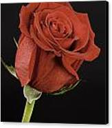 Sharp Red Rose On Black Canvas Print by M K  Miller