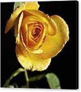 Sharp Yellow Rose On Black Canvas Print