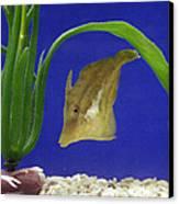 Sharpnose Puffer Fish Canvas Print by Chris Martin-bahr