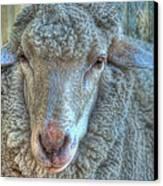 Sheep Canvas Print by Imagevixen Photography
