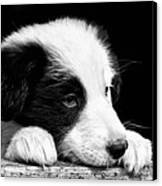 Sheepdog Puppy Looking Out Canvas Print by Rory Trappe