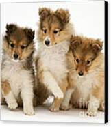 Sheltie Puppies Canvas Print by Jane Burton