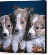 Sheltie Puppies Canvas Print by Photo Researchers, Inc.
