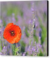 Shirley Poppy In English Lavender Field, Valensole, Valensole Plateau, Alpes-de-haute-provence, Provence-alpes-cote D Azur, Provence, France Canvas Print