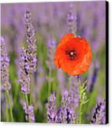 Shirley Poppy In English Lavender, Valensole, Valensole Plateau, Alpes-de-haute-provence, Provence-alpes-cote D Azur, Provence, France Canvas Print