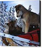 Siberian Husky Puppies Play On A Snow Canvas Print by Nick Norman