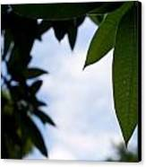 Single Mango Leaf Silhouetted Against The Sky Canvas Print