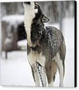 Sled Dog Howling Canvas Print by Pete Ryan