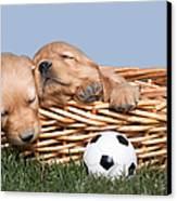 Sleeping Puppies In Basket And Toy Ball Canvas Print by Cindy Singleton