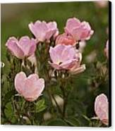 Small Pink Roses In Garden Canvas Print by M K  Miller
