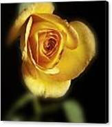 Soft Yellow Rose On Black Canvas Print by M K  Miller