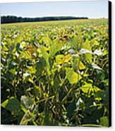 Soybeans Sprout In A Large Eastern Canvas Print by Stephen St. John