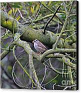Sparrow Bird Perched . 40d12307 Canvas Print by Wingsdomain Art and Photography