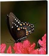 Spice Bush Swallowtail And Azaleas Canvas Print by Lara Ellis