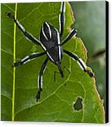 Spider Weevil Papua New Guinea Canvas Print