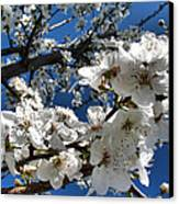 Spring Pear Blossoms 2012 Canvas Print by Joyce Dickens