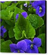 Spring Violets Canvas Print by Yvonne Scott