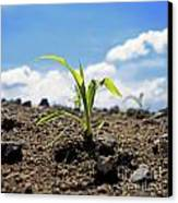 Sprout Of Maize Canvas Print
