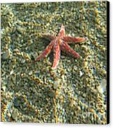 Starfish In Shallow Water Canvas Print by Ted Kinsman