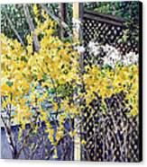 Stella Magnolia And Forthysia Canvas Print by Peter Sit