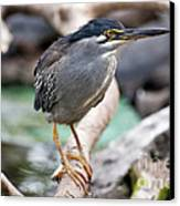 Striated Heron Canvas Print by Fabrizio Troiani