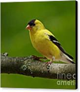 Summer Joy - Male Gold Finch Canvas Print by Inspired Nature Photography Fine Art Photography