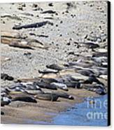Sunbathing Elephant Seals Along A Beach At Point Reyes California . 7d16065 Canvas Print