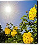 Sunflare And Yellow Roses Canvas Print by Amber Flowers