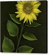 Sunflower With Rocks Canvas Print