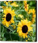 Sunflowers Canvas Print by Ivan SABO