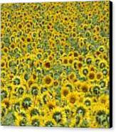 Sunflowers Canvas Print by Ron Smith