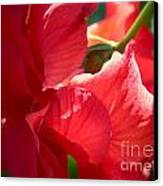 Sunlight On Red Hibiscus Canvas Print