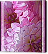 Sunlight Through Pink Dahlias Canvas Print by Carol Groenen