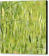 Sunny Day At The Oat Field Canvas Print by Christine Till