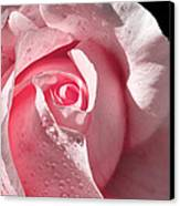 Supple Pink Rose Dipped In Dew Canvas Print