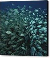 Surgeonfish  Slice Through The Coral Canvas Print by Randy Olson