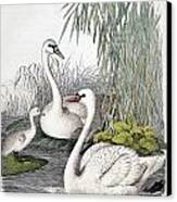 Swans, C1850 Canvas Print by Granger