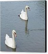 Swans Drifting Along Canvas Print
