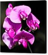 Sweat Pea Canvas Print by Dawn OConnor