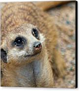 Sweet Meerkat Face Canvas Print by Carolyn Marshall