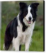 Taj - Border Collie Canvas Print by Michelle Wrighton